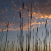 Silhouetted Reeds